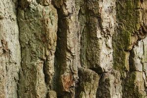 кора дуба от поноса