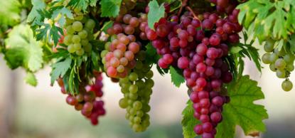 Может ли возникнуть после употребления винограда диарея?